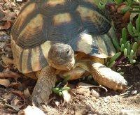 russisk landskildpadde til salg