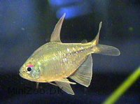 Diamant tetra (Moenkhausia pittieri)