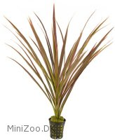 Dracena Marginata Red