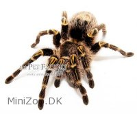 Grammostola pulchripes Small