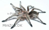 Grammostola spec. CHILEAN NORTH