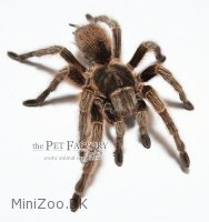 Grammostola spec. Middle Chile Large