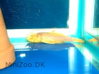 Guld Sugemalle s (Ancistrus sp.)