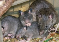 Hamsterrotte (Gambian pouched rat) (Cricetomys gambianus)