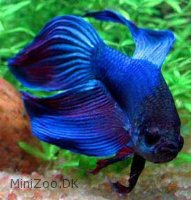 Kampfisk Blå longtail (Betta splendens )