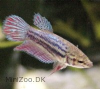 Kampfisk Crowntail Hun (Betta splendens)