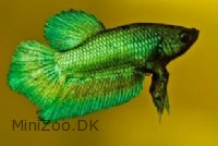 Kampfisk Green (Betta splendens )