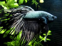 Kampfisk mix crowntail/halfmoon/giant.mf. (Betta Splendens)