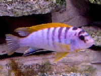 Labidochromis hongi (red top)