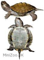 græsk skildpadde pasning
