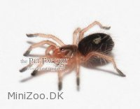 Paraphysa spec. EMERALD TIGER Small