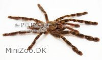 Poecilotheria ornata Medium
