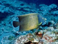Pomacanthus Semicirculatus Korean Angelfish Small