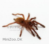 Pterinochilus murinus RCF Small Medium