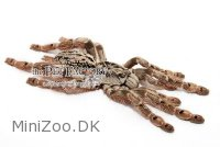 Stromatopelma calceatum Medium