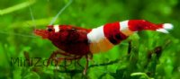 Taiwan Red Wine Reje (Caridina cantonensis sp. Red Wine)