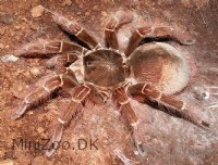 Theraphosa blondi (Stirmi)