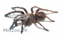 Thrigmopoeus insignis Small Medium