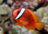 Tomat Klovnfisk (Amphiprion frenatus)