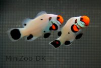 Wyoming White Klovnfisk (Amphiprion ocellaris)