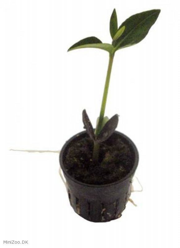 Mangrove plante, køb nu kun 450,00 DKK, MiniZoo.dk